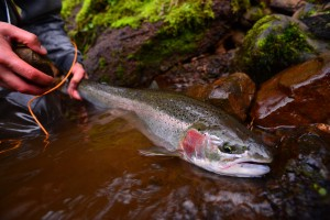 hatchery fish